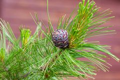 Cedar branch with fluffy long needles and a young pine cone stock photo