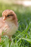 Fluffy chick in the grass Royalty Free Stock Images