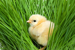 Fluffy chick on green grass Royalty Free Stock Photo