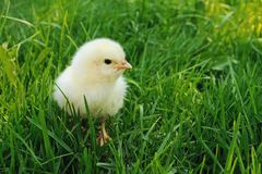 Fluffy chick looking Royalty Free Stock Photo