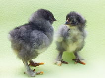 Fluffy chick Royalty Free Stock Photos