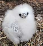 Fluffy chick. Chick of White-tailed Tropicbird Phaethon lepturus, Bird Island, Seychelles Royalty Free Stock Images