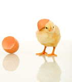 Fluffy chicken with egg shell - isolated Stock Photos