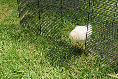 Fluffy chicken out Stock Photos