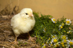 Fluffy chicken Royalty Free Stock Photo