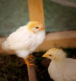 Fluffy chickens Royalty Free Stock Images
