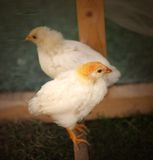 Fluffy chickens Stock Image