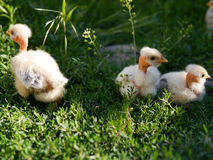Fluffy chicks. Fluffy clicks sitting in grass, in a small countryside farm Stock Photos