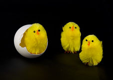 Fluffy Chicks and Egg Stock Photography