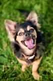 Fluffy chihuahua sit on the green grass Stock Photography