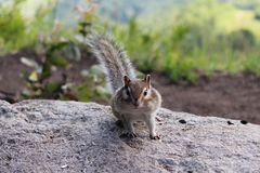Fluffy chipmunk on a rock royalty free stock photography
