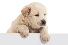 Fluffy Chow-chow puppy Stock Image