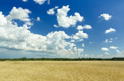 Fluffy clouds and deep blue sky above ripening Stock Images
