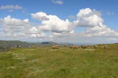 Fluffy Clouds n Sheep. Sheep gracing in the Maluti's in Lesotho Stock Photos