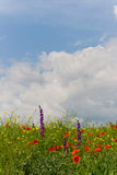 Fluffy clouds over wildflower field Royalty Free Stock Image