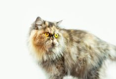 Fluffy colorful Persian cat on a light background Beautiful domestic long-haired young cat. Fluffy colorful Persian cat on a light background. Beautiful domestic royalty free stock photography