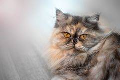 Fluffy colorful Persian cat on wooden background Beautiful home long-haired young cat. Fluffy colorful Persian cat on wooden background. Beautiful home long stock photo