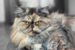 Fluffy colorful Persian cat on wooden background Beautiful home long-haired young cat. Fluffy colorful Persian cat on wooden background. Beautiful home long royalty free stock image