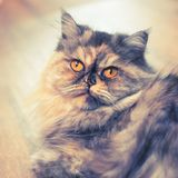 Fluffy colorful Persian cat on wooden background Beautiful home long-haired young cat. Fluffy colorful Persian cat on wooden background. Beautiful home long royalty free stock images
