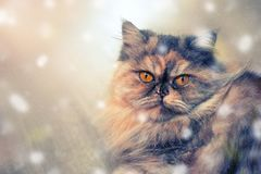 Fluffy colorful Persian cat on wooden background Beautiful home long-haired young cat. Fluffy colorful Persian cat on wooden background. Beautiful home long stock image
