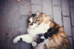 Fluffy and contented cat lying on the ground Stock Photography