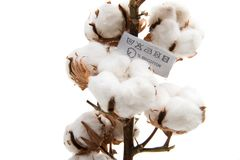 Fluffy cotton ball of cotton plant Royalty Free Stock Photography