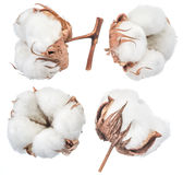 Fluffy cotton ball of cotton plant. Royalty Free Stock Photo