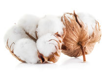 Fluffy cotton ball of cotton plant. Royalty Free Stock Image