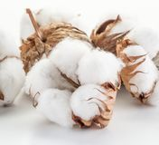 Fluffy cotton ball of cotton plant. Stock Images