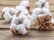 Fluffy cotton ball of cotton plant. Royalty Free Stock Photography