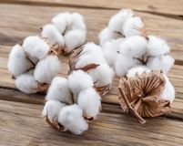 Fluffy cotton ball of cotton plant. Stock Photography