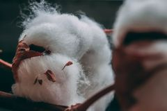 Fluffy cotton ball of cotton plant on the wooden table. royalty free stock photography