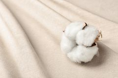 Fluffy cotton flower on fabric, closeup. Space for text royalty free stock photo