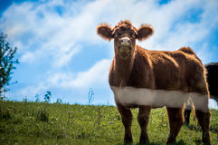 Fluffy Cow Stock Image