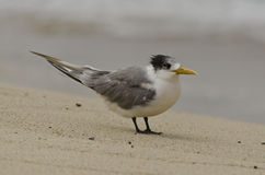 Fluffy Crested Tern Stock Images