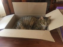 Fluffy cuddly male Tabby cat in box. Senior male tabby cat has diabetes and needs a lot of rest. He likes to rest in cardboard boxes Stock Image