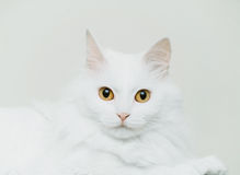 Fluffy cute cat of white color Stock Images
