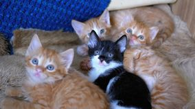 Fluffy Cute Four Kittens Lie on the Couch at Home and at Same Time Fun to Look Around