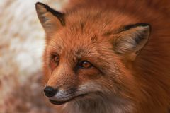Fluffy cute red fox portrait in winter , zao , miyagi , Tohoku Area,  Japan. Fluffy cute red fox portrait during white cold winter , zao , miyagi prefecture royalty free stock images