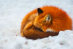 Fluffy cute red fox portrait in winter , zao , miyagi , Tohoku Area,  Japan. Fluffy cute red fox portrait during white cold winter , zao , miyagi prefecture royalty free stock photography