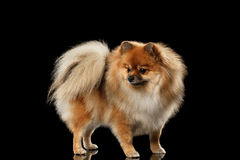 Fluffy Cute Red Pomeranian Spitz Dog Standing  on Black Stock Photo