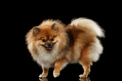 Fluffy Cute Red Pomeranian Spitz Dog Standing isolated on Black Royalty Free Stock Photo