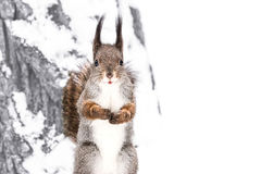 Fluffy cute red squirrel standing on snowy tree trunk in winter. Forest and looking in camera Stock Photos