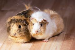 Cute guinea pigs. Fluffy cute rodents - guinea pigs on neutral background Stock Photos