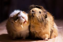 Cute guinea pigs. Fluffy cute rodents - guinea pigs on neutral background Stock Photo