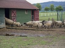Fluffy cute sheep walking hide to the old wooden farm house cote. Stable, in countryside with puddle grass, tree and forest background, rural scene Stock Images