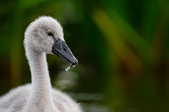 Fluffy Cygnet ion Dark Green Reeds Royalty Free Stock Photo