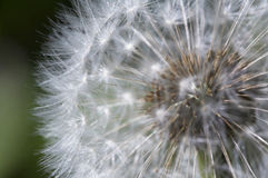 Fluffy dandelion Stock Photos