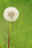 Fluffy dandelion Stock Photography