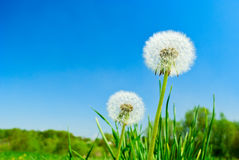 Fluffy dandelion Stock Photo